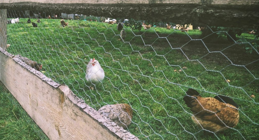 A large chicken run with a fence and a lot of chickens running around.